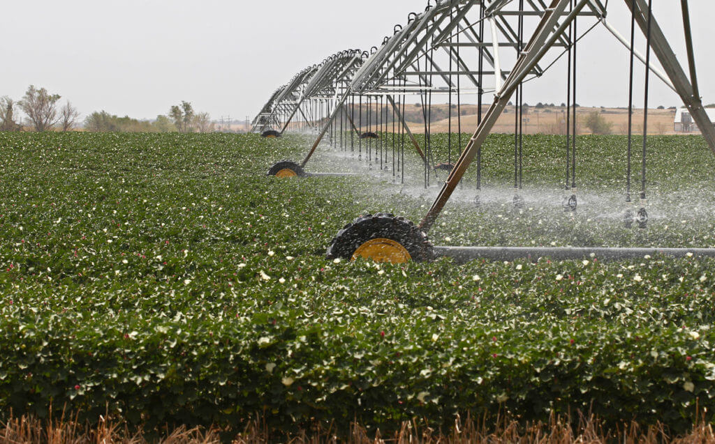 cotton plants being watered