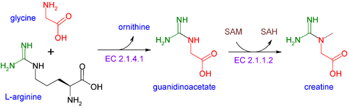 creatine synthesis